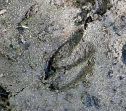 mule deer footprint