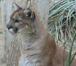 mountain lion (cougar)