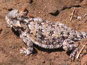 Coastal horned lizard