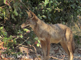 coyote in Blue Sky Reserve