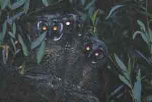 long-eared owls
