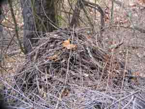 Wood rat nest