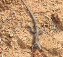 Orange-throated whiptail lizard