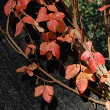 Poison Oak-fall color