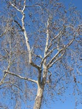 Western Sycamore