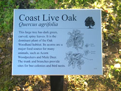 Interpretive sign: Coastal Live Oak