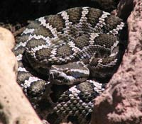 southern pacific rattler